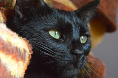 staring üzüm (Nelkhane) Tags: cat kedi chat portrait black animal hayvan pet noir siyah d3200 nikon