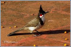 6835 - redwhiskered bulbul (chandrasekaran a 40 lakhs views Thanks to all) Tags: redwhiskeredbulbul birds kodaikanal tamilnadu india nature canon powershotsx60hs