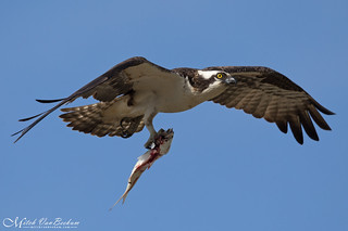 Osprey with fish (Male)