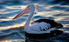 The Australian pelican - (Pelecanus conspicillatus) (Bernard Spragg) Tags: australianpelican birds largebirds sony pelican nature freephotos