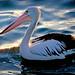 The Australian pelican - (Pelecanus conspicillatus)