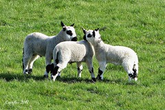 Lammetjes - Lambs - Kerry Hill sheep. (Cajaflez) Tags: sheep schaap lam lamb kerryhillsheep ngc coth5 npc