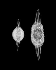 Spongotractus pachystylus - Radiolarians - 160x (Picturepest) Tags: radiolarie radiolaria radiolarian radiolarians protist protists protisten einzeller unicellular protozoa protozoen protozoe plankton sea meer saltwater fossil fossile nature natur mikroskop mikrofotografie mikrofoto microscop microphotography micro mikro photomicrographie schwarzweis schwarzweiss sw blackwhite bw blackandwhite schwarzweisfotografie schwarzweissfotografie monochrome noir twit twart einfarbig makro