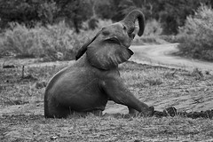 Dust bath (crafty1tutu (Ann)) Tags: travel holiday 2016 southafrica africa animal elephant baby calf free roamingfree wild inthewild dustbath motswariprivategamereserve safari crafty1tutu canon7dmkii ef100400mmf4556lisiiusm anncameron monochrome blackandwhite bw naturescarousel coth naturethroughthelens anaturecanvas
