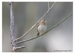 B57I2063-Tree-Pipit,-Anthus-trivialis (duncancooke.happydayz) Tags: birds birdperfect distinguishedbirds bird tree pipit hay bridge uk amazingwildlifephotography wildlife wildlfe british canonef300mmf28lisusm