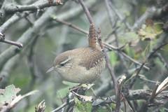 Wren (troglodytes troglodytes), Blairbowie. (linweseregon) Tags: wren troglodytes blairbowie ayrshire birds scotland