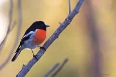 Scarlet Robin (Petroica boodang) (Derek Midgley) Tags: dsc4280 male scarlet robin petroicaboodang np evening sundown glow