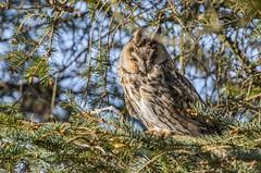 Long-eared Owl. (nondesigner59) Tags: longearedowl asiootus hunter owl closeup nature bird wildlife predator copyrightmmee eos7dmkii nondesigner nd59