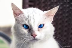 Behind blue eyes (lucascobos) Tags: cat white blue eyes blueeyes animal feline cats life look explore pet