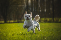 dog-6489 (EB_Creation) Tags: dog shihtzucentral shih tzu running grass green action cool outdoor outside nikon nikond7100 nikkor white 24120mm 2401200 mm f40 2401200mmf40 clydesfriends amateur 2017 camera lens digital pet