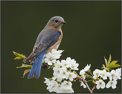 Eastern Bluebird (f) (Randy Lowden) Tags: easternbluebird bluebird ontario niagara randylowden canon bird birds