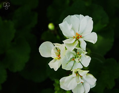 Tower of Blooms (DGS Photography) Tags: missouri branson silverdollarcity flower bloom blossom white stamens