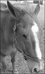 Just a Tried Old Horse (KLF & JRN) Tags: kjphotography horseandfriends horse animal old outdoor ontario blackwhite pet nikon nikoncamera nikondslr monochrome oldhorse halter horsehalter farmanimal portrait horsephotography
