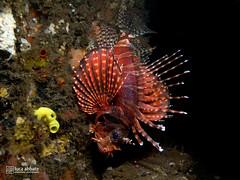 Zebra lionfish (2UC4 488473) Tags: lucaabbate tulamben bali underwater macro lionfish zebralionfish balidiveresort dive scuba underwaterphoto submarino 수중 스쿠버 잠수 水肺 潜水 水下照片 照片宏 水中写真マクロ closeup close photoofthedaysea reef diving padi ssi underwaterlife macrophotography ダイビング marine ocean bubble