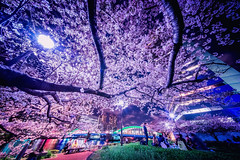 Cherry Blossoms at Spring Night (hidesax) Tags: cherryblossomsatspringnight sumida river kachidoki bridge night sakura blossoms lights hanami party tsukiji chuoku tokyo japan hidesax sony a7ii voightlander 10mm