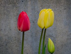 Wet tulips (frankmh) Tags: plant flower tulip hittarp skåne sweden outdoor