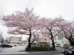 IMGP5686 (digitalbear) Tags: pentax q7 08widezoom 17528mm f374 nakano doori sakura cherry blossom blooming full bloom tokyo japan araiyakushi arai yakushi baishoin