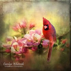 Cardinal1Textured