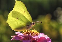 Butterfly (bożenabożena) Tags: butterflies insect insects outdoor yellow garden nature flower animal butterfly zinnia