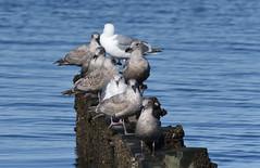 Gulls catching the Spring sunshine (D70) Tags: crescentbeach britishcolumbia gull gulls sunshine assembly crescent beach british columbia canada sigma 150600mm f563 contemporary tc1401 teleconverter mudbay silk monopod