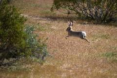 Chase to shoot (RaminN) Tags: shutter highspeed aiservo spring desert rabbit wild nature joshuatreenationalpark jackrabbit