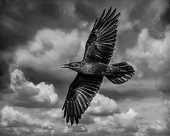 Crow in the Clouds (Johnrw1491) Tags: tonal range monochrome wildlife crow flight clouds avian fine art photography alternative process lack white nature birds