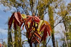 DSC_0083 (Me now0) Tags: spring park europe nikond5300 1855mmf3556 basiclens afternoon пролет никонд5300 китовобектив софиябългарияевропа юженпарк walnut leaves орех листа júglansrégia