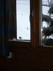 ...HellO... !! (project:2501) Tags: wengen jungfrauregion suisse switzerland snow ski travel view viewthroughawindow window windowframe bird birds treesparrow theviewfromhere spectators spectating town village inthemountains mountains mountain
