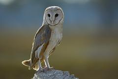 The Barn Owl (Noor Hussain.) Tags: barnowl barn owl tytoalba tyto alba wildlifeofpakistan wildlife wwf wild birdsofpakistan birdsofmultan bbc bird nature natgeo ngc noorhussain