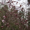 plenty of pink (Manitoba Museum of Finds Art) Tags: plumblossoms pink