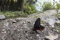 【台灣鳳蝶】  Papilio thaiwanus Rothschild, 1898 (Sam's Photography Life) Tags: 台灣鳳蝶 台鳳 鳳蝶 蝴蝶 生態 自然 昆蟲 鱗翅目 百 微距 canon 1dx 100mm 1d marco mraco butterfly fly colorful 1017 超廣角 魚眼 tokina