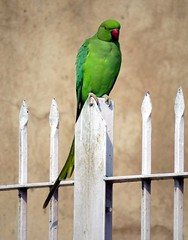 india 2015 on the road (gerben more) Tags: bird parrot green gate animal india