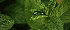Green (mazzottaalessandra) Tags: verde menta maggiolino insetto catonia aurata contrasto canon dettaglio details detail piggia rain nuvoloso speranza fortuna green macro
