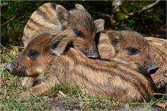 """Wild Boar hoglets (DaveChapman """"If it flies,I shoot it"""") Tags: wild boar hogs hoglets uk england cute"""