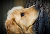 Yogi '17 (R24KBerg Photos) Tags: goldenretriever yogi canon pet nc northcarolina dog cute handsome friend portrait 2017 sweet jowls animal focused lockedin