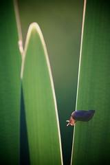 Ambrette (Succinea putris) dans les iris (jf.cudennec) Tags: animal snail gastropoda iris leaves green light sunset spring canon 100mm macro macrophotography macrophoto proxy