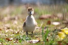 I Believe I Can Fly........... (law_keven) Tags: gosling egyptiangosling birds bird animals parks parklife regentspark london england uk photography wildlifephotography avian royalparks geese goose