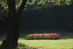 _DSC0877 (Riccardo Q.) Tags: parcosegurtàtulipani places parco altreparolechiave fiori tulipani segurtà