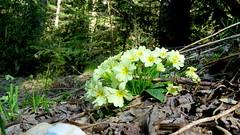Primevére commune (bernard.bonifassi) Tags: bb088 06 alpesmaritmes 2017 thiery avril fleur primevérecommune