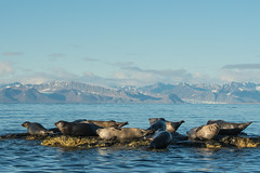 Harbor seals (tomaszberlin) Tags: seal mammal harbor arctic svalbard