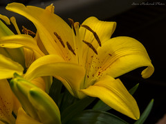 Golden Lilies_15965 (smack53) Tags: smack53 lilies goldenlililes flowers plants pottedplants spring springtime westmilford newjersey canon powershot g12 canonpowershotg12 closeup