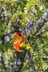 Scarlet Honeycreeper (D'hondt Timothy) Tags: animals birds haleakala hawaii maui nationalpark nikond7100 scarlethoneycreeper tamron16300mm tamron16300mmf3563 usa