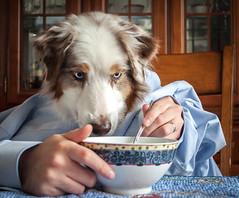 16-52 Della - Enjoying Soup At The Table (janecumming33) Tags: 52weeksfordogs australianshepherds aussies dogs pets