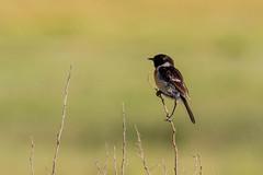 African Stonechat, Bornmansdrift, Clocolan, Freestate, Dec 2017 (roelofvdb) Tags: 2016 596 africanstonechat clocolan date december dwesa16 place southernafricanbirds stonechat stonechatafrican year