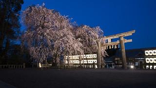 Sakura in Blue Hour 夕暮れ時の夜桜