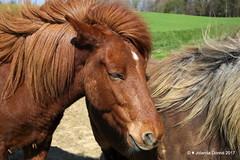 Isländer - Hochwacht Klingenzell (Jolanda Donné) Tags: islandpferd isländer gangpferde equus hestur kleinpferd hochwachtklingenzell thurgau ostschweiz schweiz april april2017 12042017 canoneos5dmarkiv
