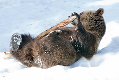 Bruine beer - Ursus arctos ....... In Explore 26-04-2017 (wimberlijn) Tags: bruinebeer ursusarctos beer beiersewoud bayerischerwald nationalparkzentrumlusen braunbär bär bavarianforest brownbear bear nature wildlife animal outdoor