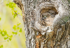Great Horned Owl (Ben Knoot Photography) Tags: nature bird owl nest fledglings photography canon colorado animal