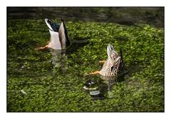 Les méfaits de l'alcool... (SiouXie's) Tags: couleur color fujifilm fuji fujixe2 55200 siouxies rouen normandie normandy ville city canard duck robec river rivière comique funny pollution nature bird oiseaux