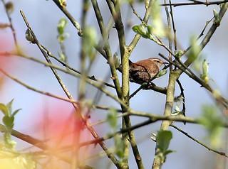 treetop wren